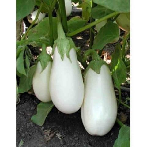 Баклажан бибо f1: характеристики и описание сорта, особенности выращивания и ухода, болезни и вредители, сбор, хранение и использование белых плодов
