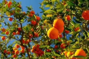 К чему снятся мандарины - сонник женщине, девушке. много мандаринов во сне