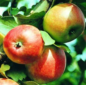 Яблоня полукарликовая