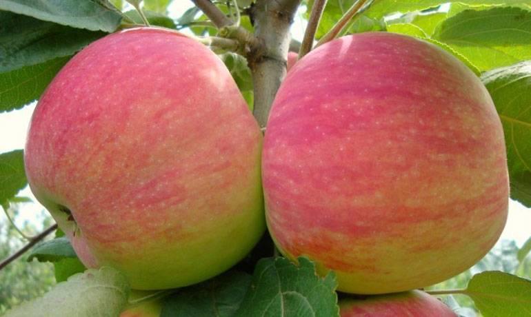 Яблоня мельба - описание урожайного сорта и особенности плодоношения