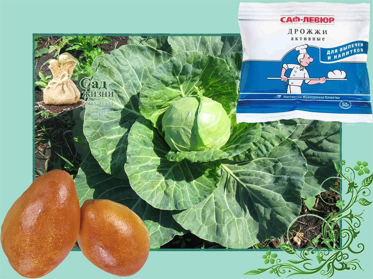 Подкормка капусты народными средствами: дрожжами, борной кислотой, нашатырным спиртом, куриным пометом, крапивой, рассады, первая
