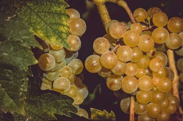 Описание сорта подарок запорожью. виноград столовый