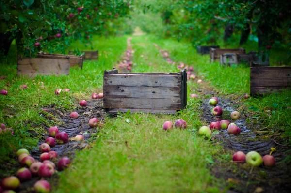 Правильные подпорки для яблонь своими руками