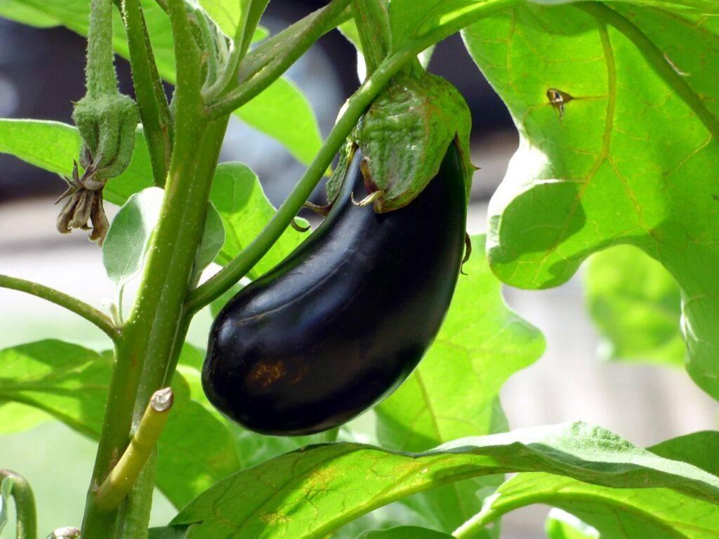 Сажаем баклажаны в открытый грунт: секреты обильного урожая