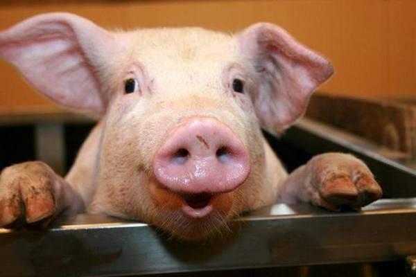 Продолжительность жизни свиней. сколько живут и интересные факты