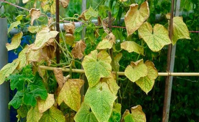 Почему листья огурцов стали «мраморными»?