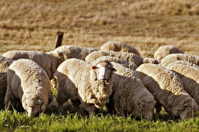 Как кормить овец - овцеводство - животноводство - собственник