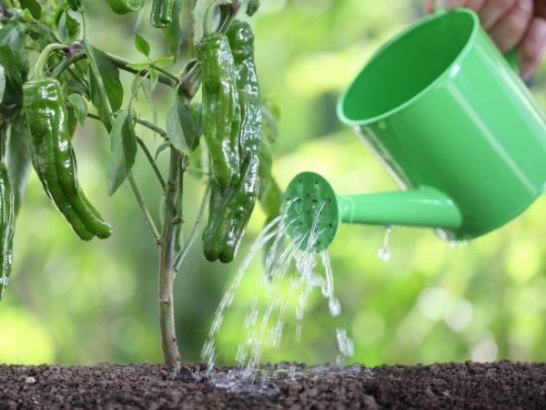 Подкормка йодом рассады помидоров и болгарского перца