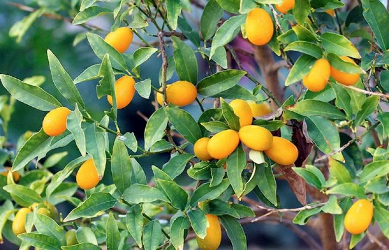 Сушеное манго: калорийность, польза и вред | food and health