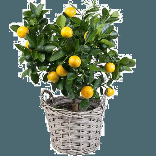 Сорт лимонов юбилейный: растим в комнате