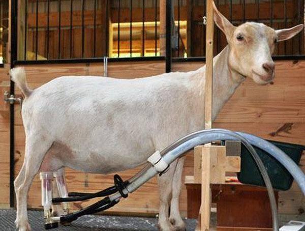 Станок для доения козы своими руками чертежи - выращивание из семян!