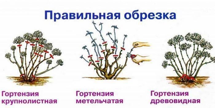 Как обрезать гортензию осенью: как подготовить цветок к зиме