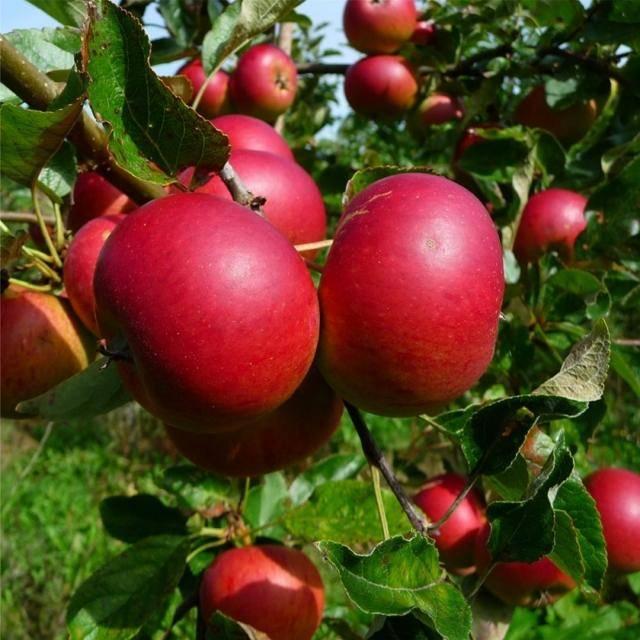 """Яблоня """"лобо"""": описание сорта, фото, отзывы, посадка и уход"""
