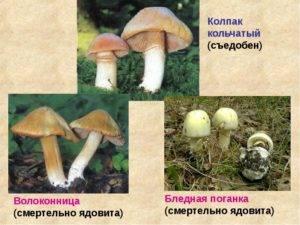 Описание и приготовление колпака кольчатого (гриба курочки)