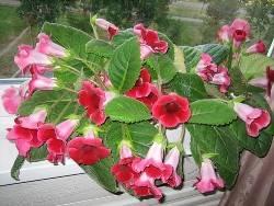 Глоксинии: как выращивать в домашних условиях