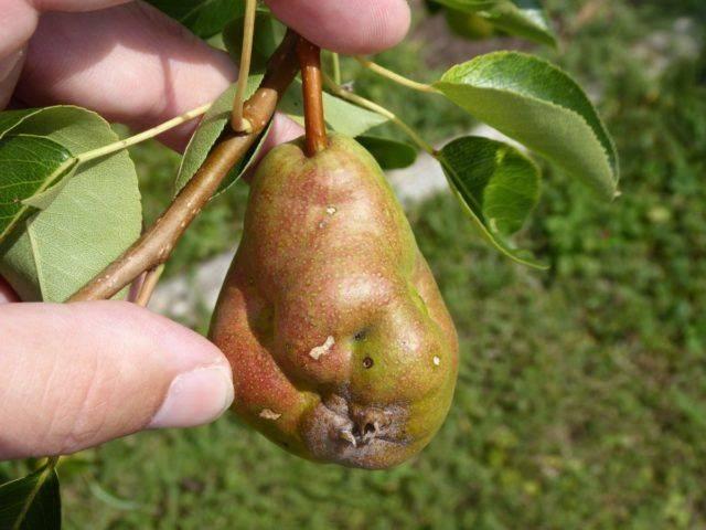 Трескаются и гниют плоды груши на дереве: 5 вещей, которые нужно сделать весной: новости, груша, сад, урожай, советы, сад и огород