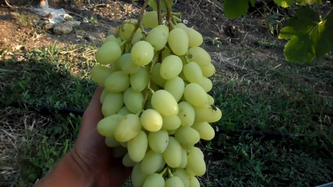 Виноград «зарница» — один из лучших светлых гибридов