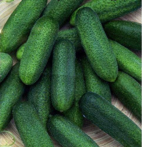 Огурцы чистые пруды f1: отзывы об урожайности, описание сорта, фото семян манул, посадка и уход в теплице