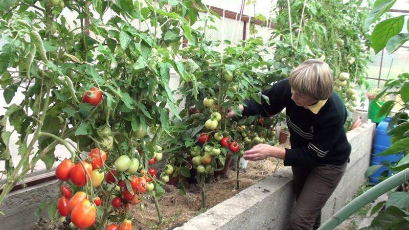 Лучшие сорта томатов устойчивых к фитофторе для теплиц