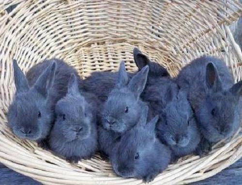 Венский голубой кролик: описание и характеристики