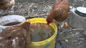 Птицеводам можно ли кормить кур несушек чёрным или белым хлебом