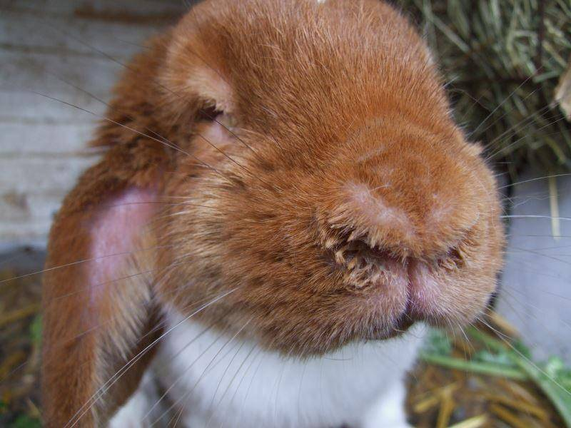 Синдром мокрой мордочки: как выявить и лечить стоматит у кроликов
