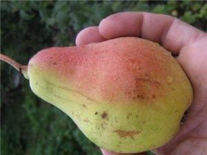 Лучшие сорта груш для каждой климатической зоны рф   садоводство и огородничество