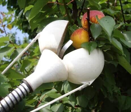 Когда снимать яблоки на хранение: в какое время собирать зимние, срывать осенние, убирать летние, как правильно хранить?