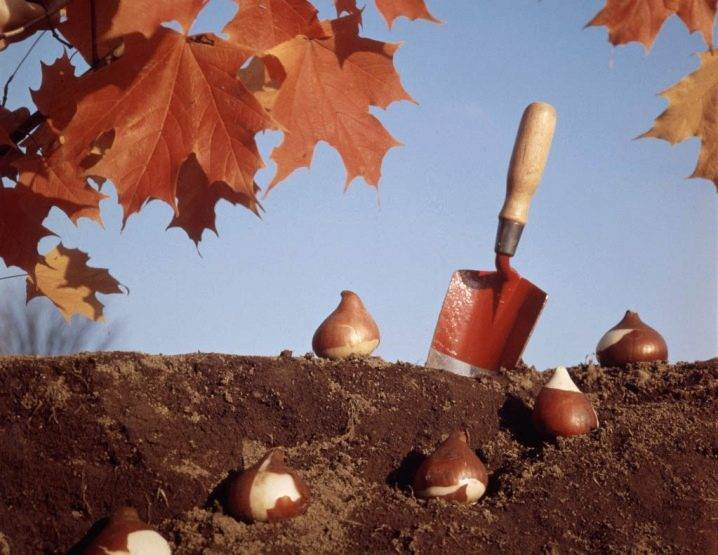 Когда сажать тюльпаны осенью в открытый грунт в каком месяце фото видео