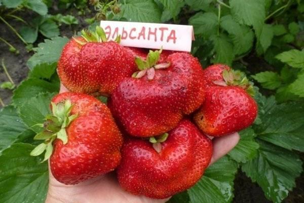 Клубника эльсанта - ягоды | описание, советы, отзывы, фото и видео