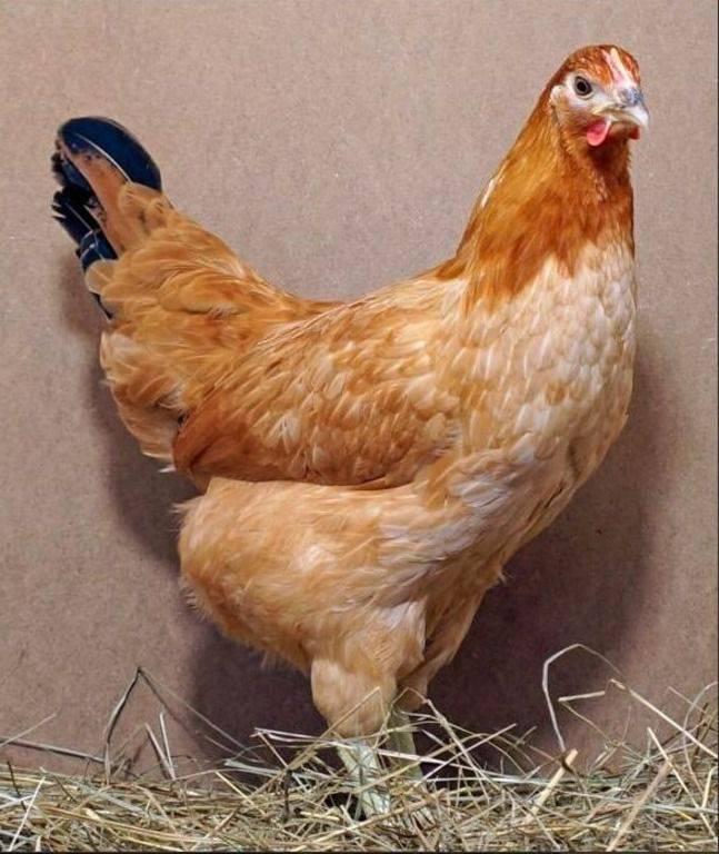 Синь синь дянь порода кур: описание, характеристики, фото