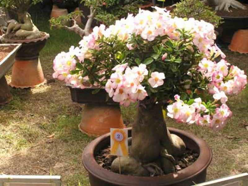 Адениумы: выращивание и уход в домашних условиях