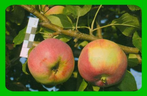 Описание яблони сорта «баяна»: фото, отзывы