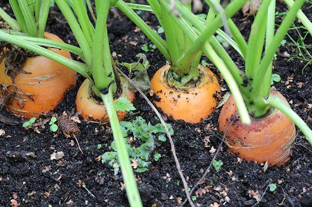Как правильно проредить морковь: прополка, технология, сроки