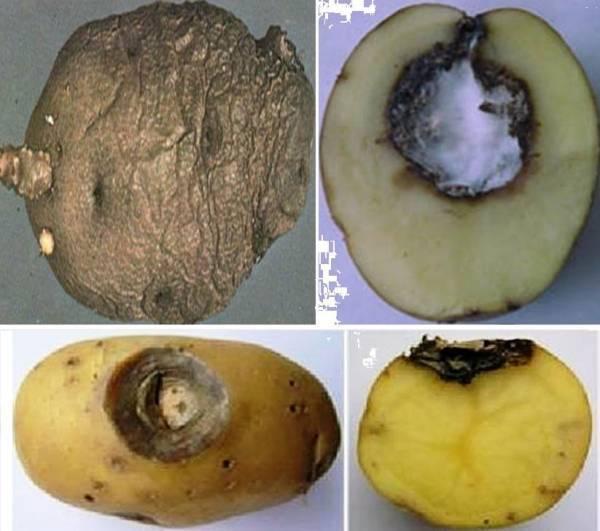 Чем лечить картошку от сухой гнили и других видов болезни