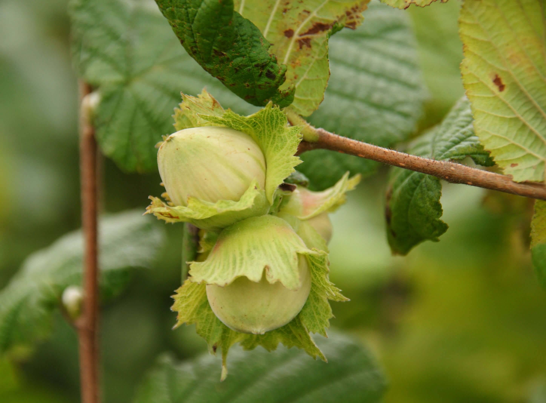 Орехи в сибири. лещина, или фундук