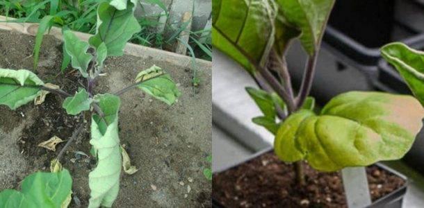Болезни баклажана и их лечение: почему желтеют и скручиваются листья, не растут, не завязываются, тля, паутинный клещ
