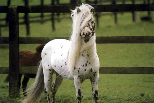 Карликовая лошадь стоимость внешний вид