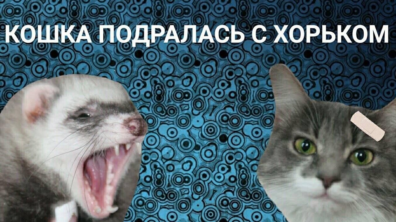 Уживаются ли хорьки с кошками? хорек и другие животные.