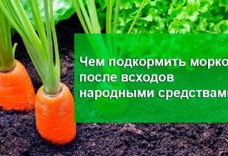 Чем подкормить морковь после всходов народными средствами?