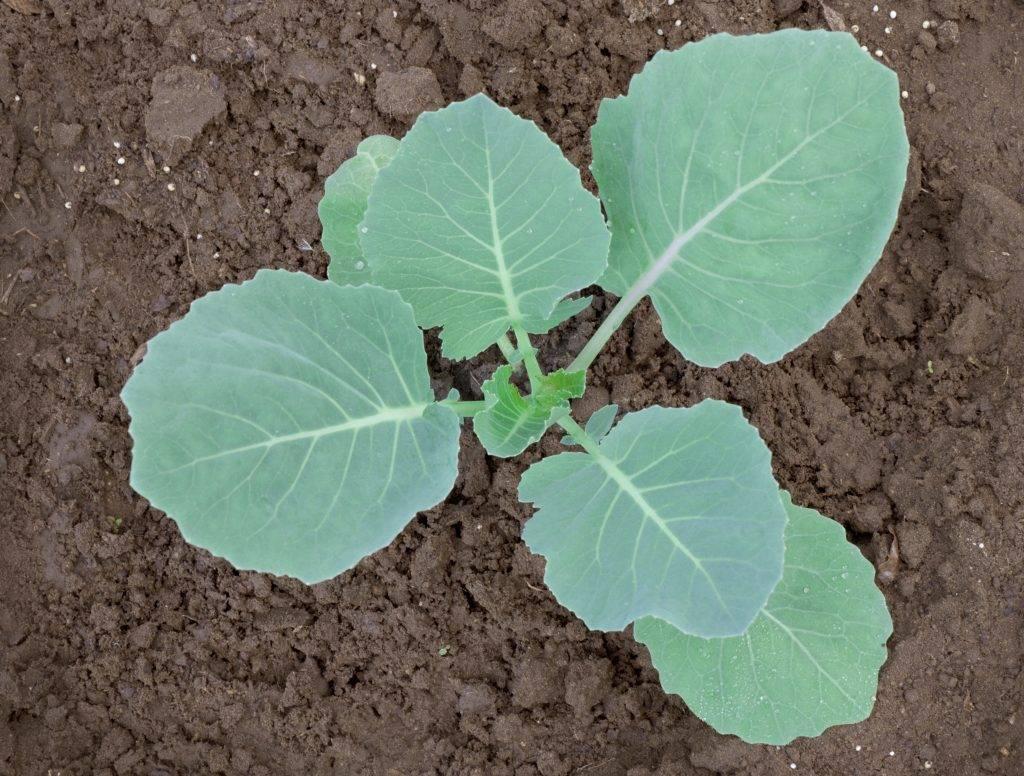 Почему синеет капуста после высадки рассады: в чем причина и что делать, если листья стали фиолетового цвета после перемещения в грунт?