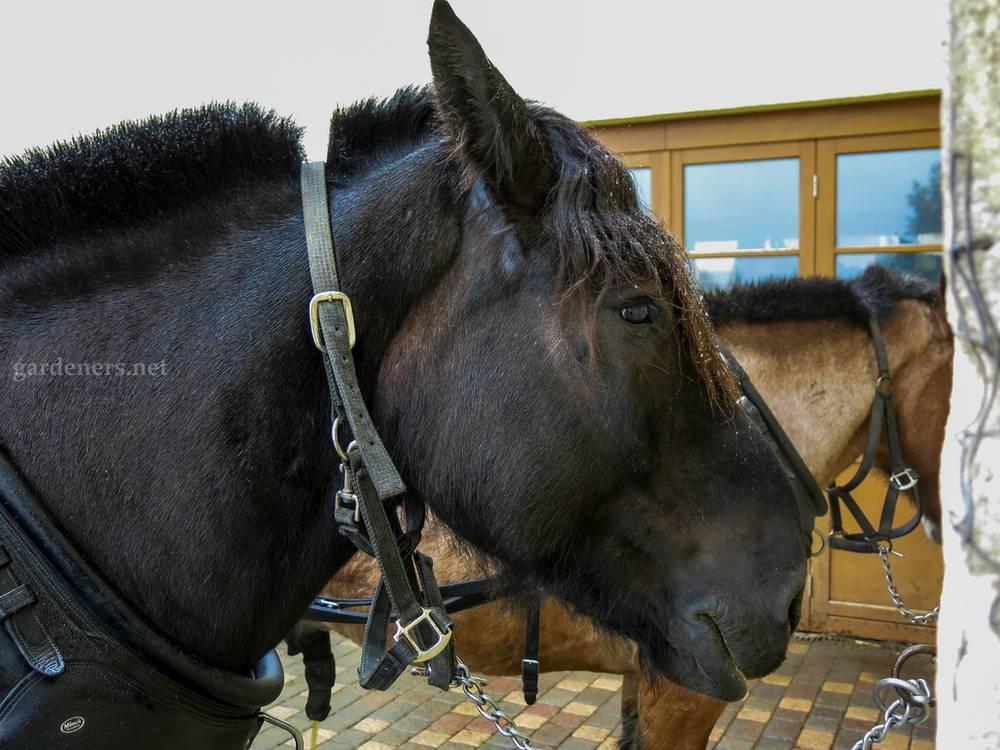 Арденская порода лошадей: описание, уход и кормление