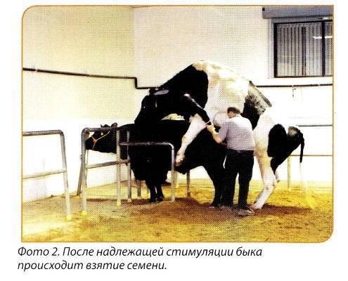 Забой и разделка коровы и быка в домашних условиях: видео и инструкция