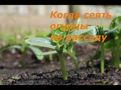 Огурцы на подмосковном огороде: как выбрать и вырастить в 2020 году