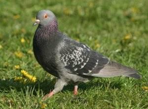 Антибиотик родотиум — защита голубей от болезней