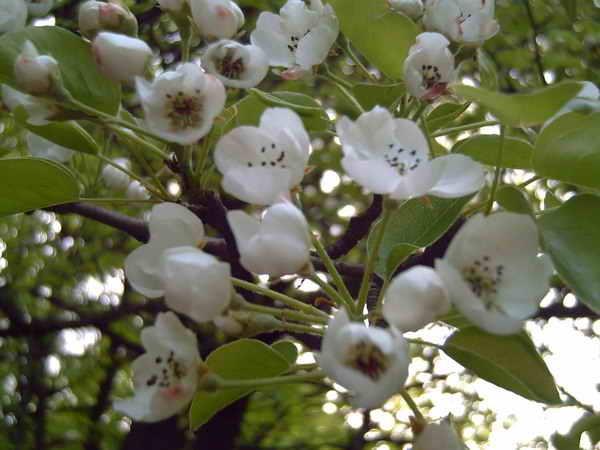 Почему груша не цветет и не плодоносит: что делать