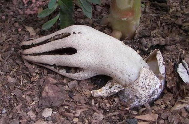 Особенности гриба клатрус арчера