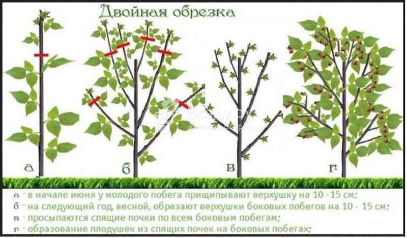 Обрезка малины весной для начинающих в картинках пошагово