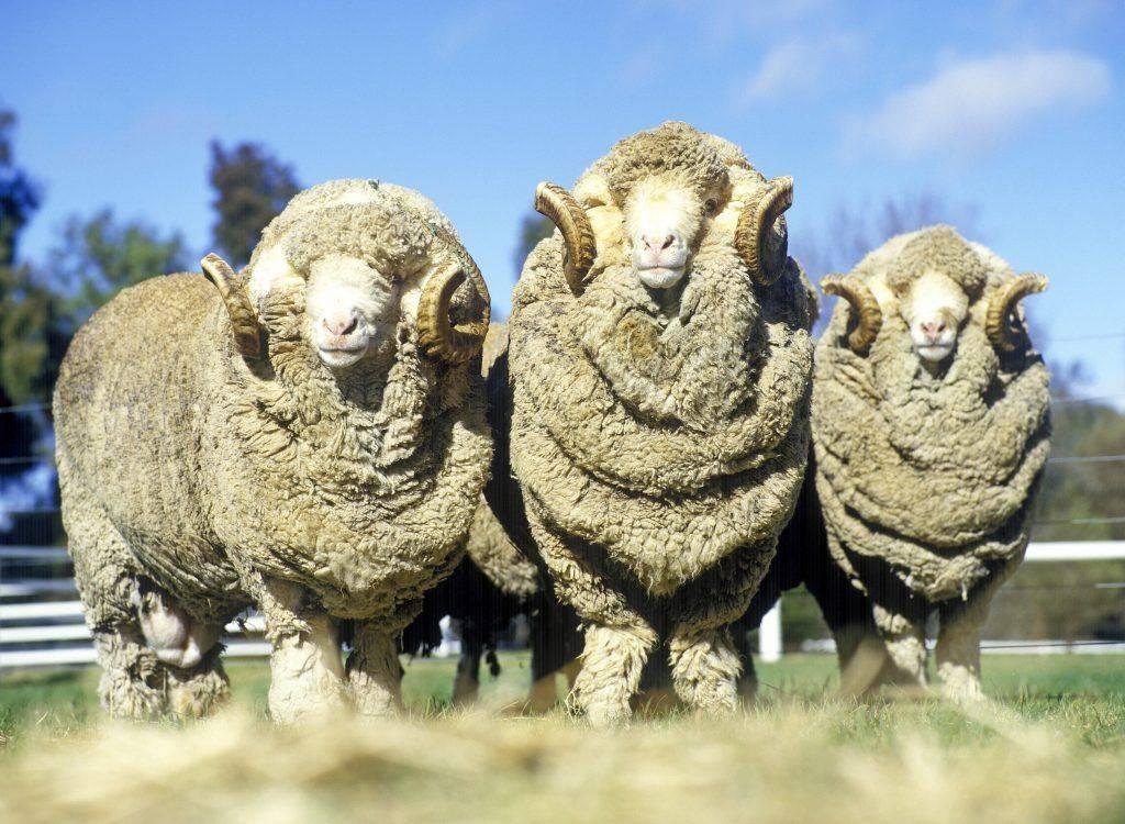 Овцы породы меринос — описание, характеристики, фото, история