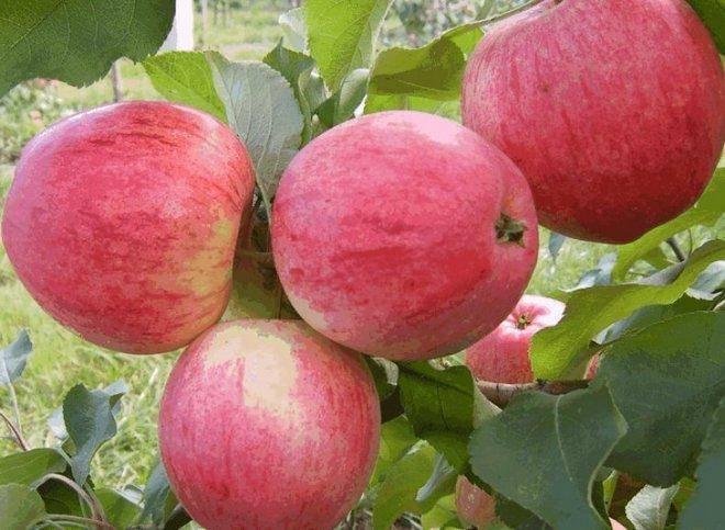Описание сорта яблони грушовка: фото яблок, важные характеристики, урожайность с дерева